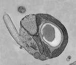 Micromonas2
