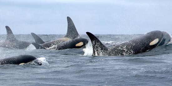 Nmmlweb-killerwhale-lrg-101